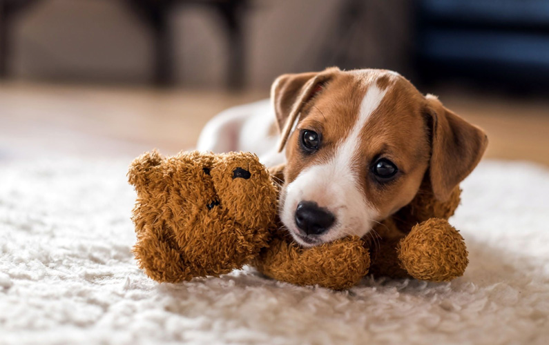 10 fakta du antagligen inte visste om Jack Russell terrier