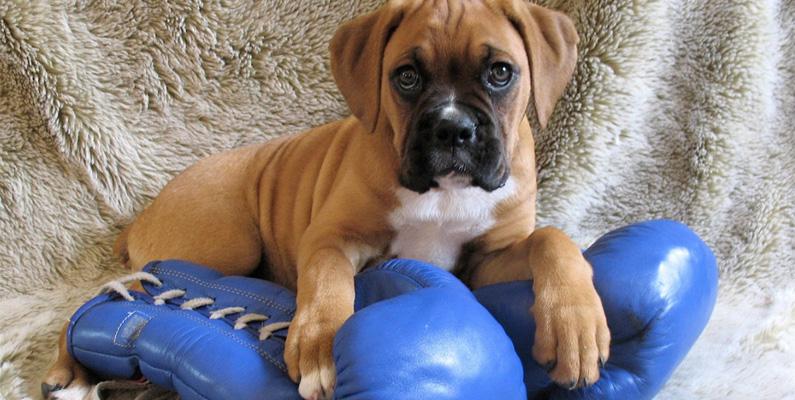 """Boxer har en tendens att """"boxas"""" när den leker, vilket många tror hundrasen kan ha fått sitt namn från. Men eftersom det aldrig nämnts var namnet härstammar från är det bara rena gissningar."""