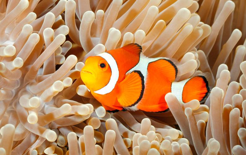 10 fakta du antagligen inte visste om clownfiskar