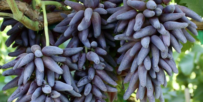 """Det finns druvor vars form påminner starkt om chili. Dessa druvor har fått det smickrande namnet """"Häxfingerdruvor""""."""