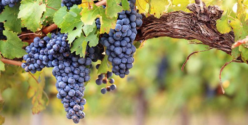 Armenier anses vara de tidigaste druvodlarna och dess odling för vinproduktion.
