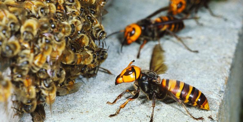 Det hör inte alls till ovanligheten att japanska honungsbin lockar till sig bålgetingar till sina bon, för att sedan svärma dem tills de bokstavligen kokar ihjäl levande.