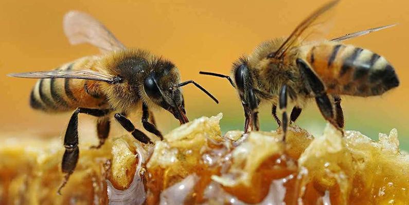 Honungsbin är ingen normal insekt i Nordamerika. Samtliga som finns idag är importerade från Europa under 1600-talet.