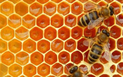 10 fakta du antagligen inte visste om honungsbin