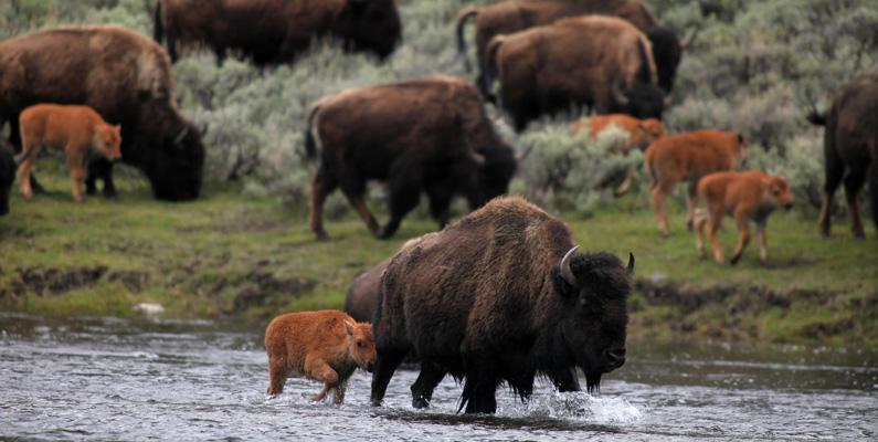 Bisonoxen utrotades nästan helt under 1800-talet för att stoppa de amerikanska indianernas matförsörjning. De sköts ihjäl öppet från tåg för att sedan bli kvarliggandes och ruttna.
