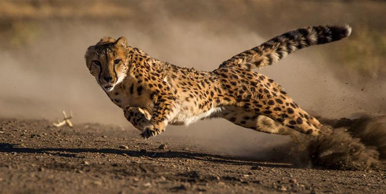 Forntida egyptier tämjde och utbildade geparder för jakt. Denna tradition fördes vidare och hölls vid liv fram till 1900-talet.