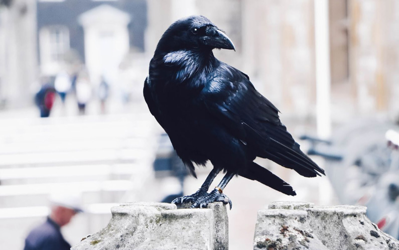 10 fakta du antagligen inte visste om kråkor