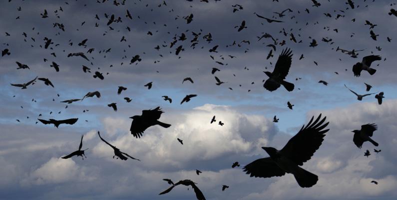 När en kråka dör undersöker de andra kråkorna om det finns ett eventuellt hot där döden inträffade, så att de kan undvika det i framtiden.