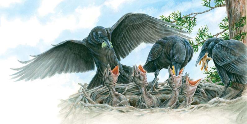 Kråkor är monogama och uppfostrar familjer tillsammans.