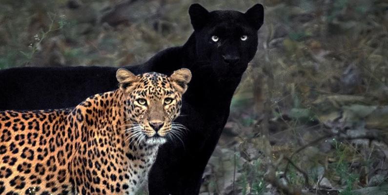 Panter är egentligen inte en riktig art, de är nämligen leoparder och jaguarer som har melanism, vilket är motsatsen till albinism.