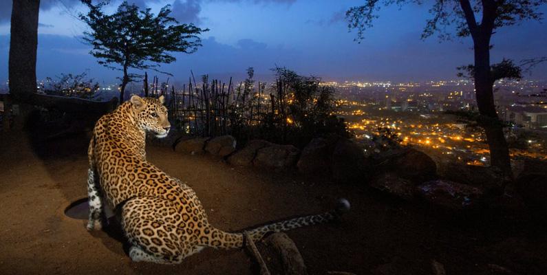 Mumbai - en indisk stad med över 20 miljoner invånare - har den högsta tätheten av leoparder i världen.