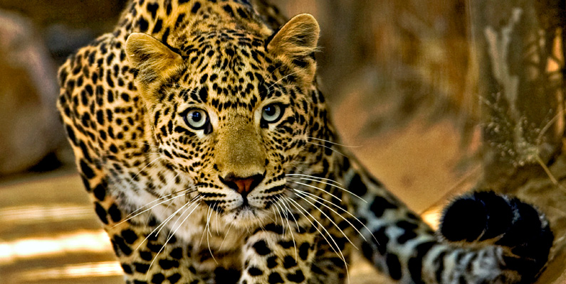Leoparder varierar väldigt i storlek, men det hör inte alls till ovanligheten att de har ihjäl byten på över 100 kilo.