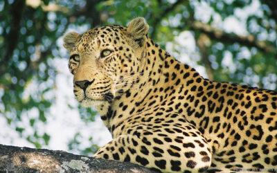 10 fakta du antagligen inte visste om leoparder