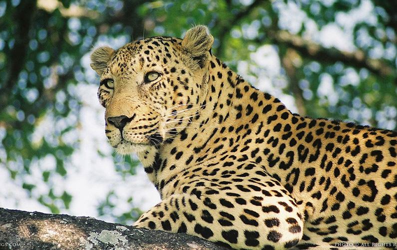 Leoparder (Panthera pardus) är ett av de fyra stora kattdjuren av släktet Panthera. De förekommer i Afrika och i södra delar av Asien.