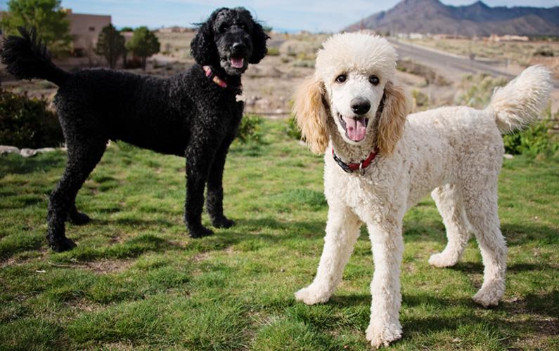 Pudlar finns i hela fyra olika storlekar: toypudel, dvärgpudel, mellanpudel och storpudel, som alla räknas till rasgruppen sällskapshundar.