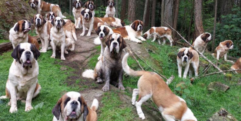 Sankt bernardshundar kan ofta relateras till kallare klimat, men verkligheten är att de i regel lever i varmare klimat.