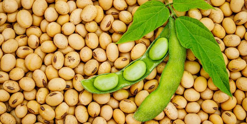 Per hundra gram innehåller sojabönor totalt 446 kalorier, 20 gram fett, 36 gram protein och 30 gram kolhydrater.
