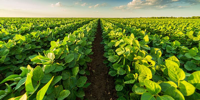 Sojabönor har sitt ursprung från Kina, där kinesiska jordbrukare odlat med bönan sedan 1100 f.Kr.