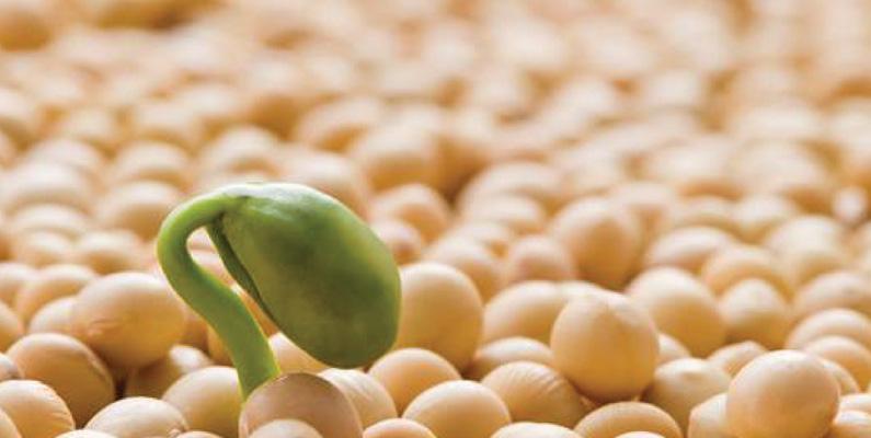 Sojabönan är precis lika proteinrikt som kött och är den enda grönsak som innehåller alla de åtta aminosyrorna.