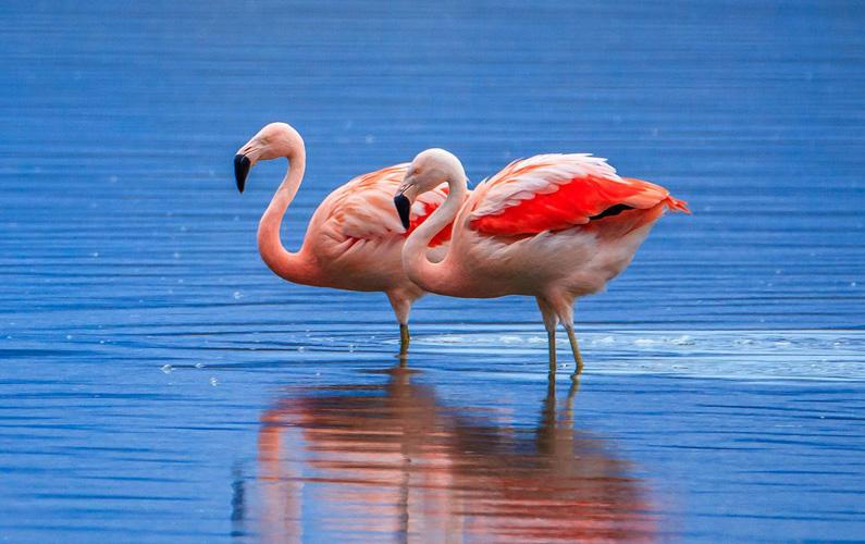 10 fakta du antagligen inte visste om flamingor