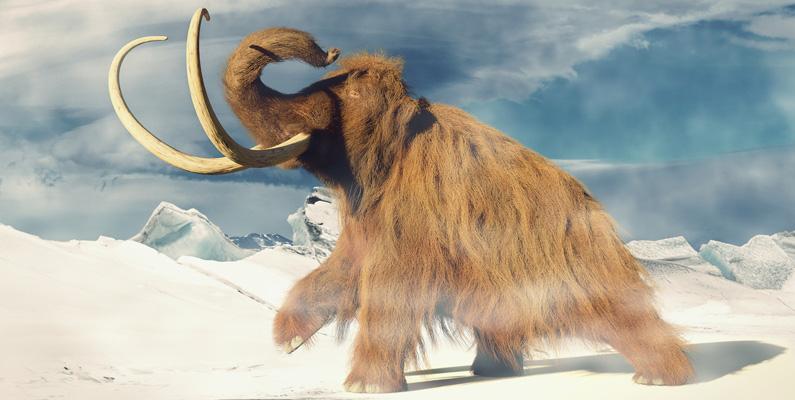 Precis som ullhåriga mammutars tjocka päls var deras mindre öron - förhållandevis till vad en modern elefant - har en viktig kallvädersanpassning. Detta eftersom det minimerade frostskador och förlust av värme.