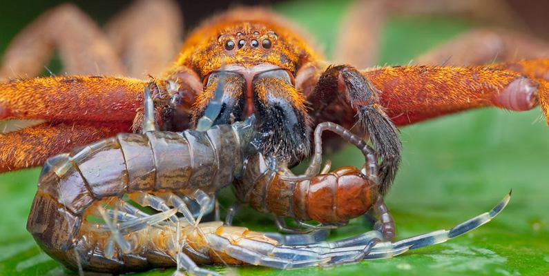 """Mångfotingarna som lever i ditt hem livnär sig på många typer av små skadedjur, som exempelvis spindlar, flugor, kackerlackor och silverfiskar. Alla så kallade """"tusenfotingar"""" har dålig syn, så de upptäcker sitt byte genom sina antenner. Faktum är att vissa arter av dem inte ens har ögon."""