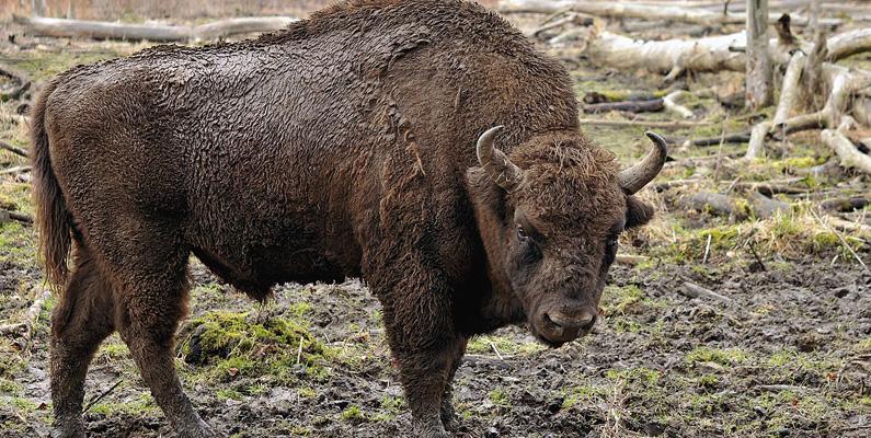 Białowieża Forest i Belarus är ett hem för cirka 800 europeiska bison (även kända som visent), Europas tyngsta landdjur. Skogen är också med på UNESCO:s världsarvslista.