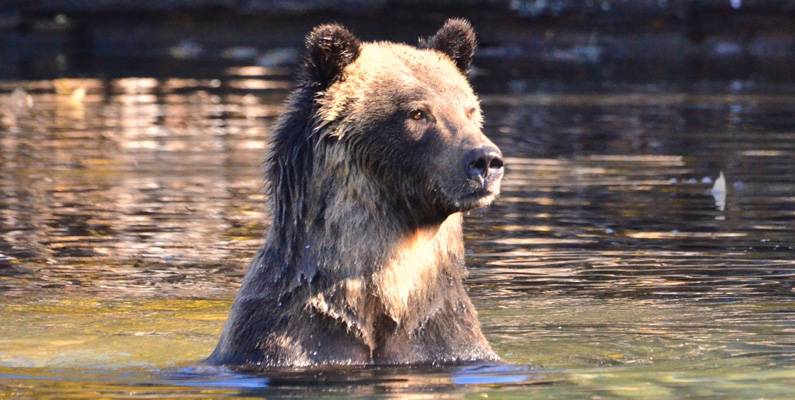 """Man tror emellertid att grizzlybjörnar ursprungligen fick sitt namn efter ordet """"grisly"""" som betyder """"grymt"""" eller """"läskigt"""". Deras vetenskapliga klassificering """"Ursus arctos horribilis"""" namngavs också efter deras """"skrämmande"""" rykte av en naturforskare år 1815."""