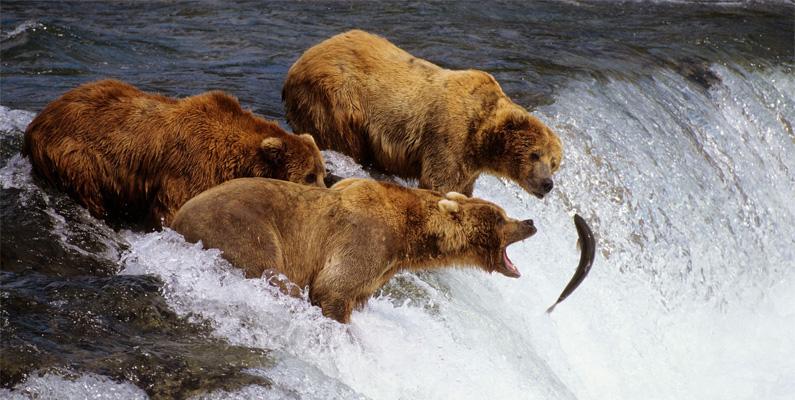 Varje år samlas grizzlybjörnar för att fiska efter laxen som simmar uppströms. Så många som 20 grizzlybjörnar kan ses på en och samma plats, där de ofta fångar lax som hoppar upp ur vattnet med sina tassar - ibland även direkt med munnen.