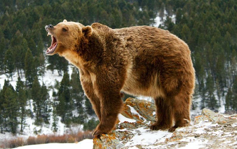 10 fakta du antagligen inte visste om grizzlybjörnar
