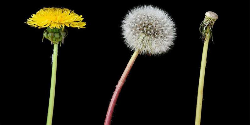 Maskrosen är den enda blomman som representerar tre himlakroppar under olika faser av dess livscykel - sol, måne och stjärnor. Växtens gula blomma liknar solen, växternas spridande frön liknar stjärnor och pustkulan av maskrosväxten liknar månen.