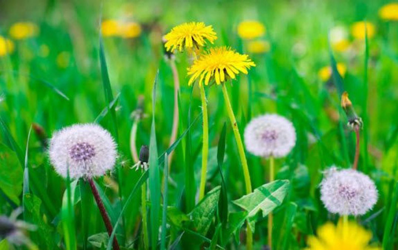 Maskrossläktet (Taraxacum) – i folkmun mer kallat som bara maskrosor – är ett släkte med fleråriga örter i familjen korgblommiga växter. Maskrosorna utbreder sig både genom frön spridda med vinden och även sina rötter. De har pålrot och runda, ihåliga stjälkar med en blomkorg på varje stjälk. I stjälkarnas väggar finns håligheter med mjölksaft, som när den torkar ger bruna fläckar. Och som trädgårdsägare är man nog väldigt välbekant med detta så kallade ogräs.