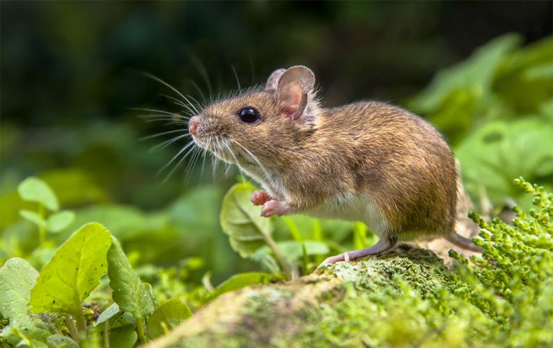 Möss är ett släkte i underfamiljen Murinae som i sin tur tillhör familjen råttdjur. Släktet omfattar totalt 39 arter. Mössens habitat är främst skog eller savann men några arter är kulturföljare och lever istället i människans närhet, och i vissa fall även som husdjur. Nedan finner du tio spännande fakta om djuret som katter älskar att jaga!