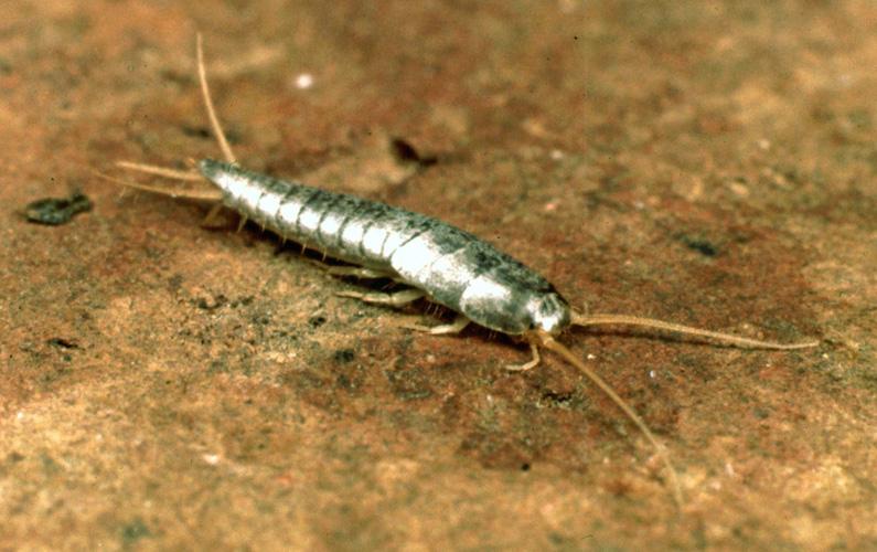 """Silverfiskar eller nattsmyg (Lepisma saccharina) är en primitiv, vinglös insektsart i ordningen fjällborstsvansar. Arten har fått sitt trivialnamn """"silverfisk"""" på grund av sin silverglänsande spolformiga kropp."""