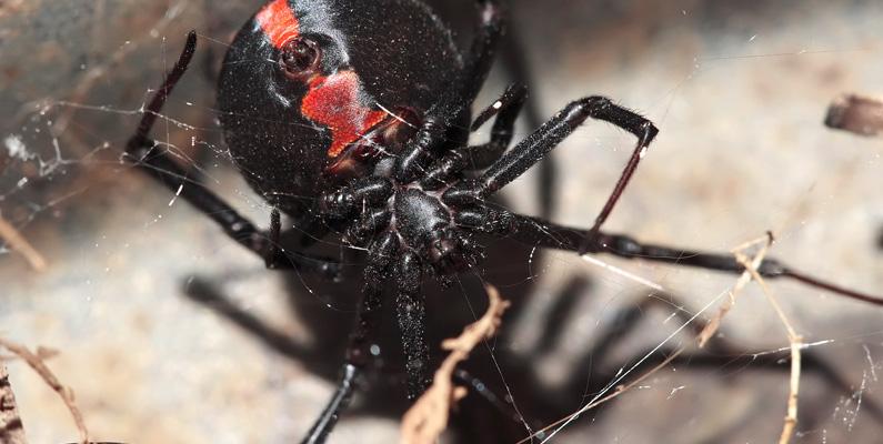Antalet mänskliga dödsfall från autentiska spindelbett av något slag i Australien sedan 1979 har varit noll. Att inte ha haft några dödsfall från autentiska spindelbett på så lång tid är väldigt imponerande, då det finns många giftiga spindeltyper i landet.