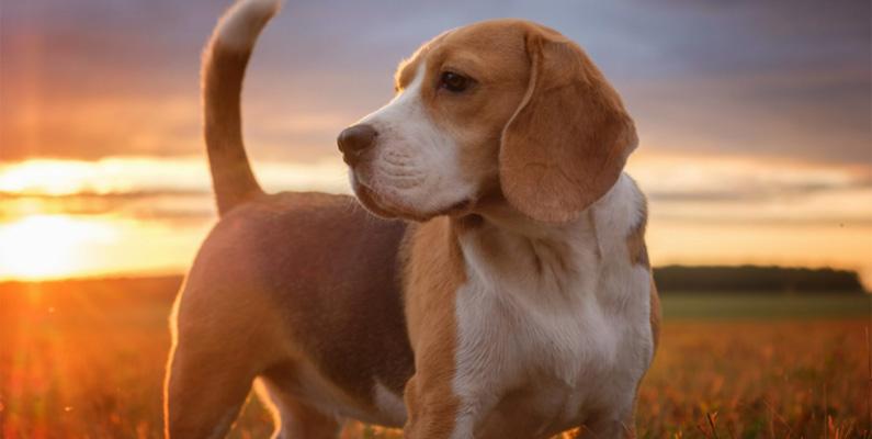 Hur kan man inte älska beagles tunga öronflikar? Men öronen på rasen är inte bara söta - de fyller en funktion också! Med nosen mot marken skapar de långa öronen mikroluftströmmar, vilket gör att luktsinnet förbättras. Denna lilla bris väcker nämligen doftmolekyler som går upp i nosen.