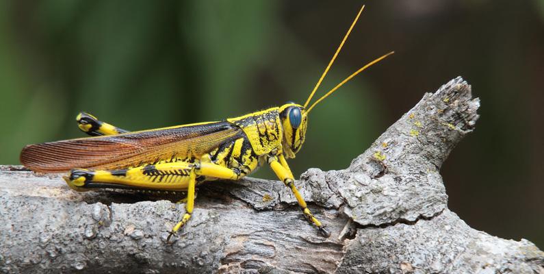 Om du någonsin har försökt fånga en gräshoppa vet du hur långt de kan hoppa för att fly från fara. Om människor kunde hoppa som gräshoppor gör, skulle vi enkelt kunna hoppa längden av en hel fotbollsplan.