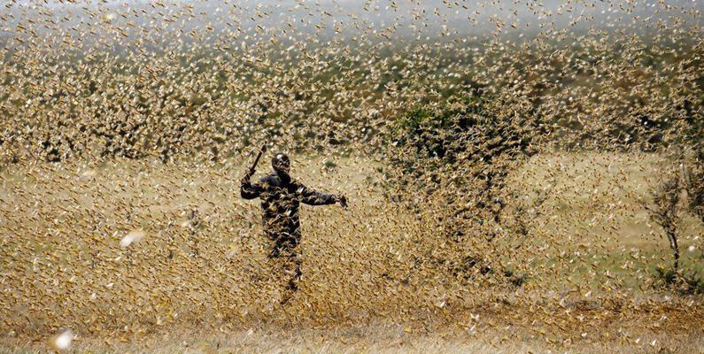 En ensam gräshoppa kan inte göra så mycket skada direkt, även om den äter ungefär hälften av sin kroppsvikt i växter varje dag - men när stora svärmar av gräshoppor kan deras kombinerade matvanor fullständigt förstöra en större odling och lämna bönder utan grödor och människor utan mat. År 2006 rapporterade forskare i en studie som uppskattade att skador på grovfoder uppgår till cirka 1,5 miljarder dollar årligen, orsakades av gräshoppor. År 1954 konsumerade en svärm av ökengräshoppor (Schistocerca gregaria) över 75 kvadratkilometer vilda och odlade växter i Kenya.