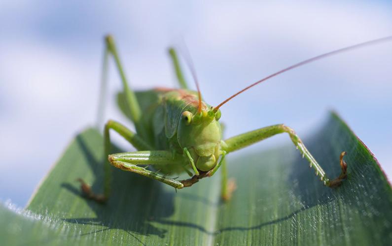 Gräshoppor (Caelifera) är en underordning till insekter och tillhör hopprätvingarna. De är kända för sina långa kraftiga bakben som de kan använda till meterlånga hopp. Gräshoppor är mestadels växtätare och dagaktiva, och säkerligen har du hört deras högfrekventa läte som de skapar med hjälp av bakbenen och vingarna. Nedan finner du tio fakta som du säkerligen inte kände till om de högljudda insekterna!