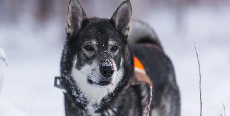 De kan vara envisa och anständiga med andra hundar, men de visar en lugn och tillgiven sida med sin familj. Jämthunden tenderar också att ha harmoniska relationer med barn på grund av deras skyddande natur. Rasen är väldigt tålmodig, vilket gör den till en perfekt jakt- eller sällskapshund.