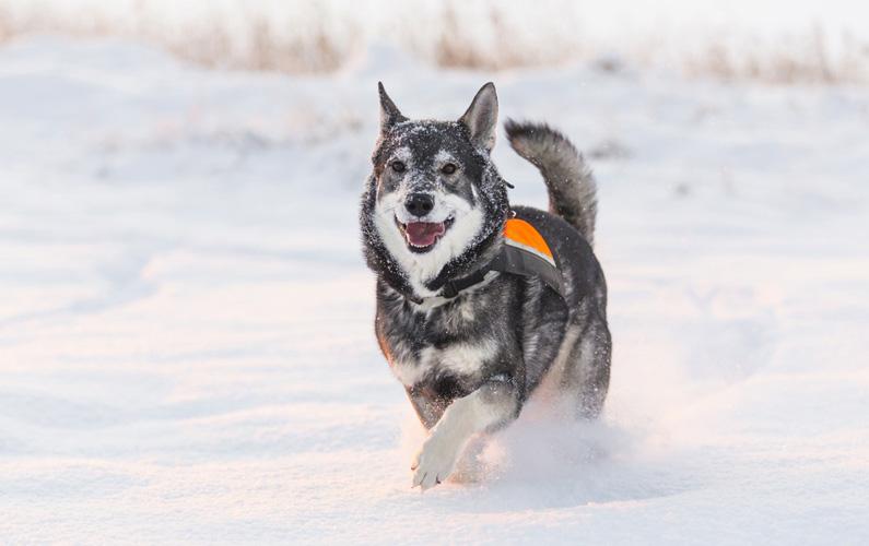 Jämthund är en populär ras här i landet som ursprungligen också kommer från Sverige. Den är en nordlig jaktspets vars främsta användningsområde är älgjakt, där den också är Sveriges och Finlands vanligaste älghund. Rasens kärnområde var ursprungligen Jämtland och Härjedalen.